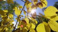 Slow motion push through Aspen leaves during Fall