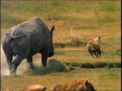 slow motion REAR VIEW rhinoceros chasing spotted hyena / Africa