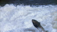 Slow motion salmon jumping in river