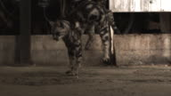 Slow motion shot of a cat landing from a fall.