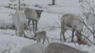 Slow motion shot of a grazing reindeer herd.
