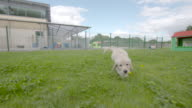 Slow motion shot of a Labrador puppy playing in the grounds of the National Guide Dog Centre for the Blind.