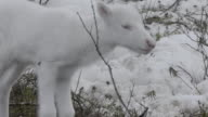 Slow motion shot of a white baby reindeer.