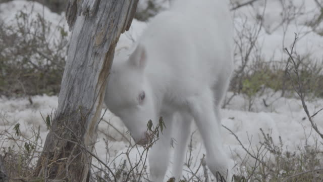 Slow motion shot of a white reindeer calf.