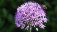 CU Slow motion shot of Allium purple with honey bee nectar feeding