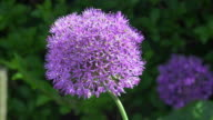 CU Slow motion shot of Allium purple with honey bees nectar feeding