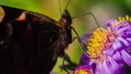 Slow motion shot of Butterfly collecting Pollen