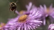Slow motion shots of a bumble bee taking off from a purple flower and flying