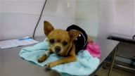 Slow motion: Sick dog, Chihuahua