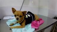 Zeitlupe: kranken Hund, Chihuahua