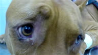 Zeitlupe: Kranke Hund, Pit-Bullterrier