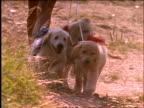slow motion teenage girl walking with puppies toward camera