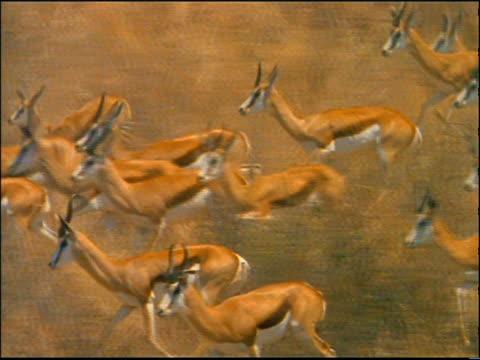 slow motion tracking shot herd of springboks running on golden plain / Africa