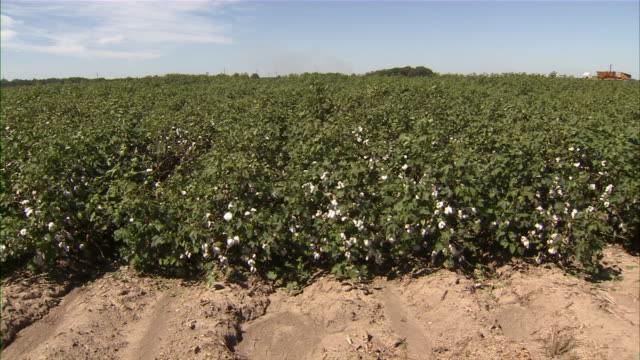 Slow pan across a cotton field ready for harvest.