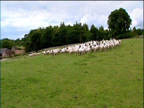 Slow pan left as flock of sheep run down hill being rounded up by sheep dog in field Cotswolds