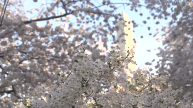 Slow Pan of Blossoms In Front of Washington Monument