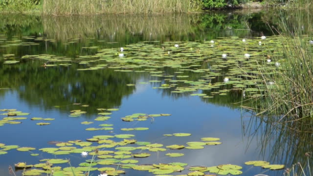 Slow Pan of White Lilies,  Across the Water With Reflected Blue Sky, To a Wading Bird Rookery
