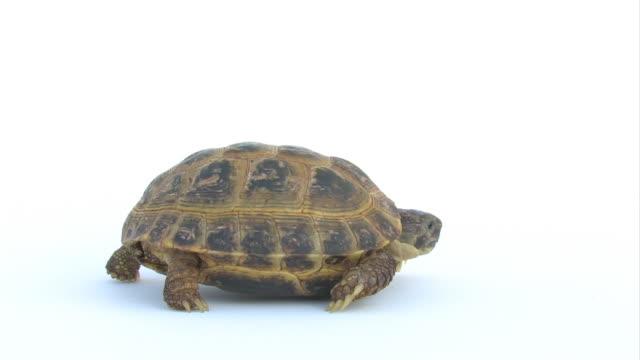 Tartaruga lento