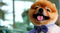 Slow-motion, Pomeranian dog happy smiling