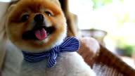 Slow-motion, Pomeranian dog smiling