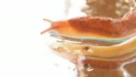 Slug (Senzatetto chiocciola) nello specchio bagnato-macro, HD