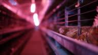 Small chicken farm under UV lights