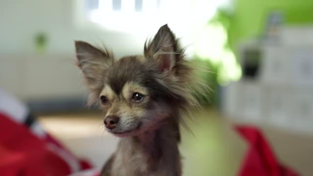 Small Chihuahua Looking Away From Camera