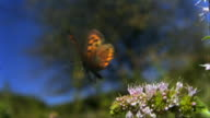 Small copper butterfly (Lycaena phlaeas) takes off from a mint flower - 1000fps (40x slowed down)