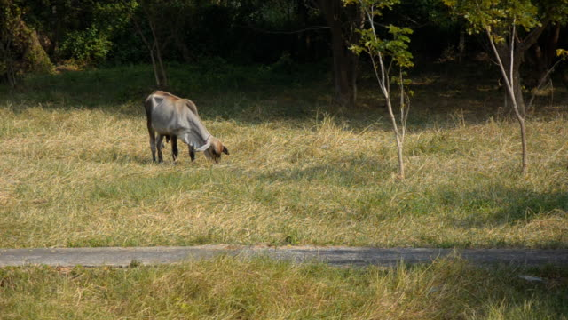 small cow eat grass