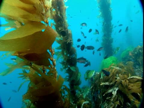 Small fish swim between undulating stalks of seaweed.