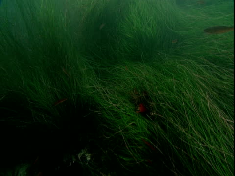 Small fish swim in and out of a grassy seabed.