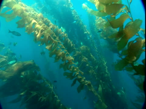 Small fish swim through a kelp forest in shimmering sunlight.