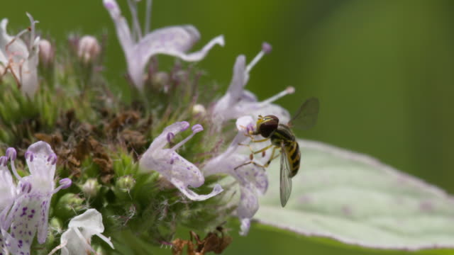 Small fly on windy mint flora, nice mouthpart action