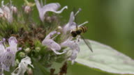 Small fly pollinating on mint flowers, windy high speed closeup