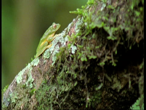 Small green tree frog on tree, tilt down to frogspawn underneath, Western Ghats, India