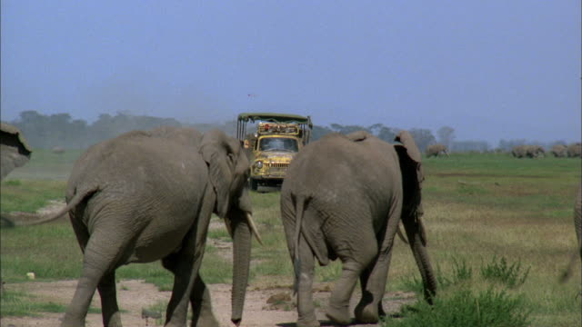 Small group of African elephants walking across dirt path in grassland FG dirty yellow truck with canvas top driving behind turning toward path BG WS...