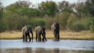 MS Small herd of african elephants standing at edge of river / Unspecified