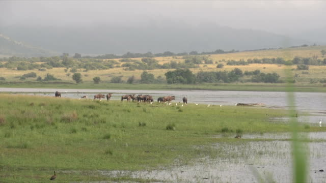 WS Small herd of Blue Wildebeest standing by lake / Pilanesberg National Park/ North West Province/ South Africa