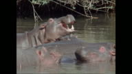 VS Small hippopotamus herd in river males threat gesturing display w/ mouths open profile larger male arching head out of water while opening mouth...