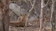 Small leopard cub runs across in front of rocks to its mother, off camera, Kruger National Park, South Africa