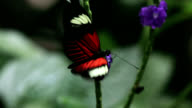 Small postman butterfly feeding
