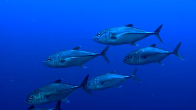 Small Tuna Shoal closeup