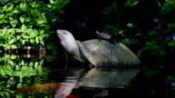 Liten sköldpadda i naturen