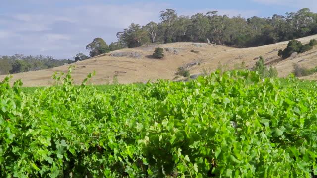 MS PAN Small vineyard / Bendigo, Victoria, Australia