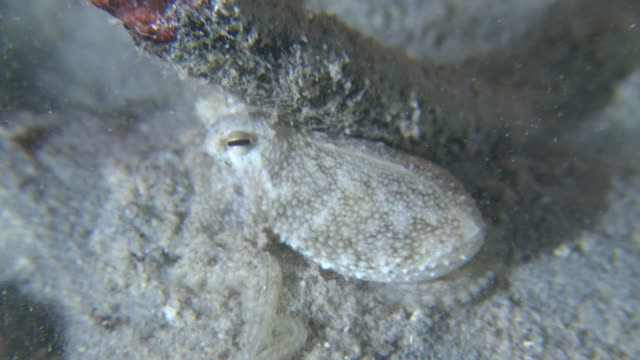 Small white octopus, Southern Visayas, Philippines