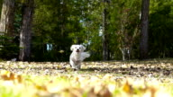 Small white puppy running through autumn leaves in slow motion