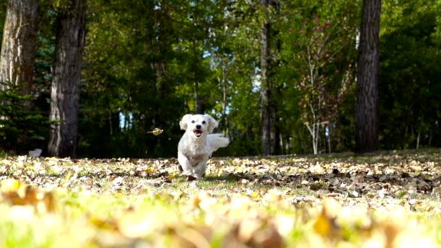 Kleine Weiße Welpe Laufen durch den Herbst Blätter in Zeitlupe