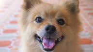 Smiley Face Pomeranian Dog