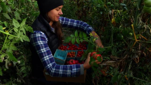 MS TU Smiling organic farmer harvesting tomatoes in greenhouse