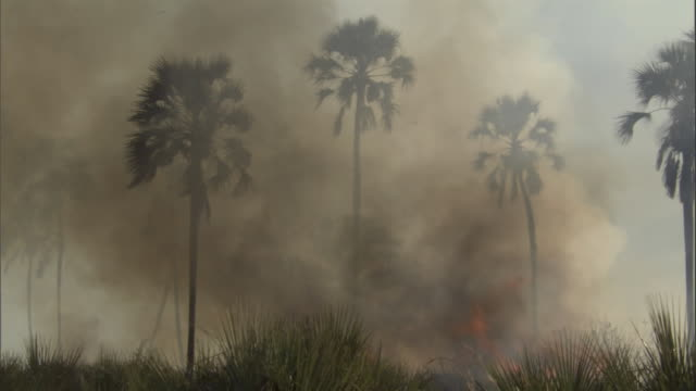 Smoke billows past palm trees while flames lick lower vegetation on the Okavango Delta. Available in HD.